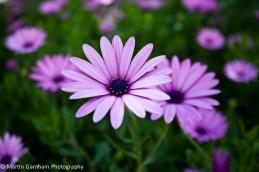 Cineraria Violeta flowers